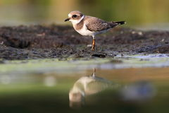 Common ringed plover Charadrius hiaticula Stock Photography