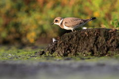 Common ringed plover Charadrius hiaticula Royalty Free Stock Image