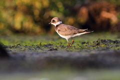Common ringed plover Charadrius hiaticula Stock Image