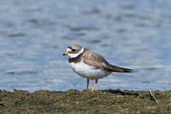 Common ringed plover (Charadrius hiaticula) Royalty Free Stock Image