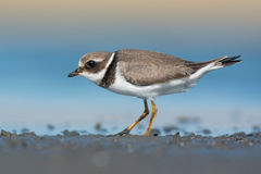 Common ringed plover Royalty Free Stock Photography