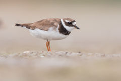 Common ringed plover Royalty Free Stock Photo