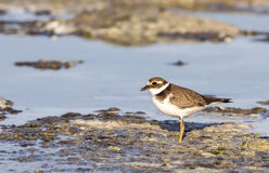 Common Ringed Plover Stock Photography