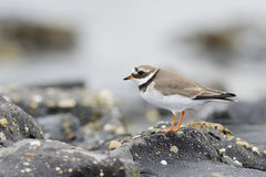 Common Ringed plover (Charadrius hiaticula) Royalty Free Stock Photo