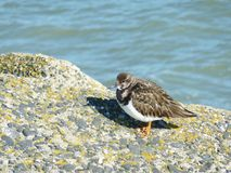 Common ringed plover on a dam Royalty Free Stock Images