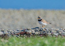 Common ringed plover. Found in the Westfjords of Iceland royalty free stock image