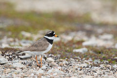 Common Ringed Plover Royalty Free Stock Photos