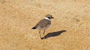 A common Ringed Plover Royalty Free Stock Image