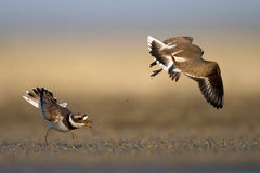 Common ringer plover Royalty Free Stock Photography