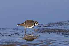 Common Ringer Plover Royalty Free Stock Image