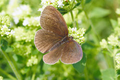 Common ringlet butterfly (Aphantopus hyperantus) Royalty Free Stock Photography