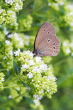 Common ringlet butterfly (Aphantopus hyperantus) stock photography