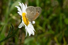 Common Ringlet Butterfly - Coenonympha tullia Stock Images