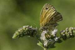 Common Ringlet Butterfly Stock Photography