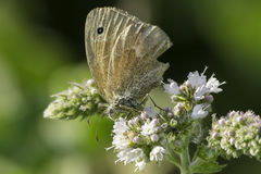 Common Ringlet Butterfly Royalty Free Stock Images