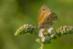 Common Ringlet Butterfly Royalty Free Stock Photos