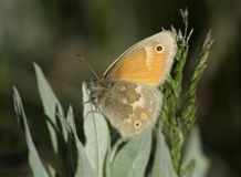 Common Ringlet Butterfly stock images