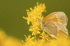Common ringlet butterfly on goldenrod flowers in Sunapee, New Ha stock photo