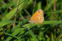 Common Ringlet Butterfly Stock Image