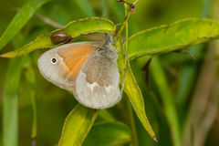 Common Ringlet Butterfly Royalty Free Stock Photo
