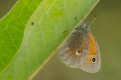 Common Ringlet Butterfly Royalty Free Stock Photography