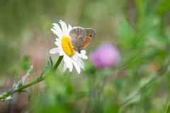Common Ringlet Butterfly Perched on Oxeye Daisy stock image