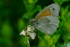 Common Ringlet Butterfly Stock Photos
