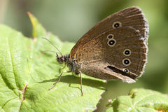 Common ringlet - Coenonympha tullia Stock Images