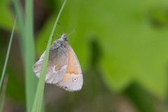 Common Ringlet Stock Photography