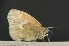 Common Ringlet Royalty Free Stock Photography