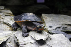 Common River Terrapin Royalty Free Stock Image