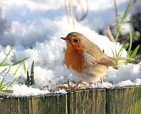 Common Robin at wintertime Stock Photography