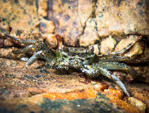 Common Rock Crab - Brachyura. Common rock crab feeds itself at low tide Royalty Free Stock Image
