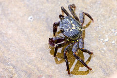 Common rock crab standing in rock pool royalty free stock photos