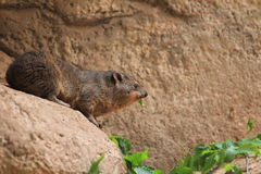 Common rock hyrax Stock Photo