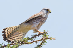 Common Kestrel. The Common Kestrel is either seen alone, or in pairs, perched on dead trees or on top of acacia or desert palm trees, where they have a good view Stock Photo