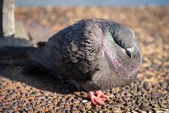 A common rock pidgeon, sleeping on a cold early spring day stock photo