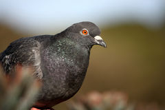 Common rock pigeon on iron flower. Common Rock Pigeon perched on iron flower, with blurred background Stock Photography