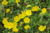Common Rock-rose Stock Photo