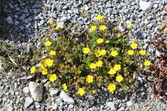 Common Rock Roses (Helianthemum Nummularium). Common Rock Roses which are native to Europe, taken in Innbruck, Austria. Scientific name is Helianthemum Royalty Free Stock Photo