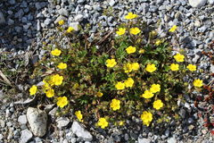 Common Rock Roses (Helianthemum Nummularium). Common Rock Roses which are native to Europe, taken in Innbruck, Austria. Scientific name is Helianthemum Royalty Free Stock Photography