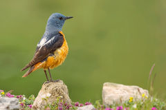 Common Rock Thrush - Monticola saxatilis Stock Images
