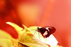 Common rose butterfly on blurred red background Stock Photography