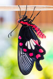 Common rose butterfly Royalty Free Stock Photo