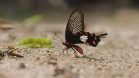 The common rose butterfly eating salt lick in Chiang Mai Thailand