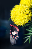 Common Rose butterfly hanging on marigold flower Royalty Free Stock Image