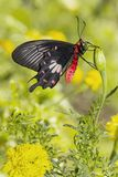 Common Rose Butterfly Pachliopta aristolochiae hanging on fl royalty free stock photos