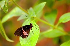 Common rose butterfly (Pachliopta aristolochiae) Stock Photos
