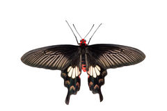 Common Rose Butterfly Royalty Free Stock Photos