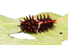Common rose caterpillar. Close up of middle stage of common rose (Pachliopta aristolochiae goniopeltis) caterpillar stock image